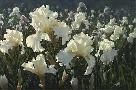 Collin Bogle White Iris Garden