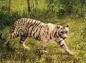 Charles Frace White Tiger