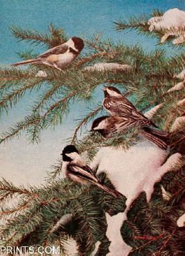 Kevin Daniel Winter Chickadees