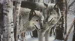 Collin Bogle Winter Companions - Wolves