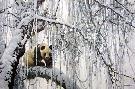 Robert Bateman Winter Filigree Giant Panda