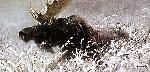 Robert Bateman Winter Run Bull Moose