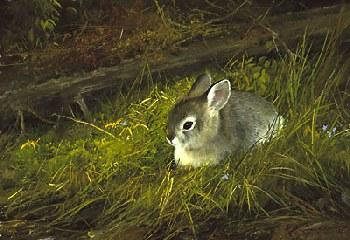 Michael Coleman Young Cottontail Giclee on Canvas