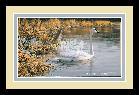 Jim Hautman Spring Thaw - Trumpeter Swan